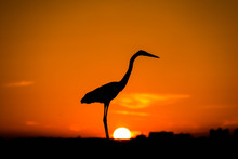 Great Blue Heron Silhouette At The Sunset, Sky At It's Feet