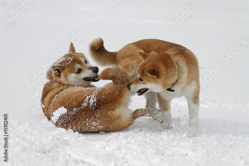 Fotografie, Obraz  雪と柴犬