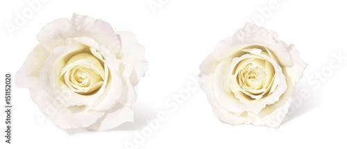 Obraz na płótnie white roses
