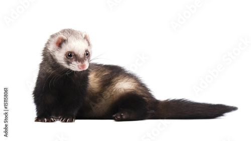 Fotografering  Cute grey ferret in full growth lies isolated