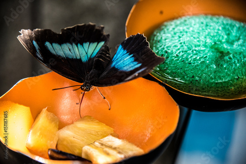 Fotografie, Obraz  Blue Morpho Butterfly eating Fruit Nectar