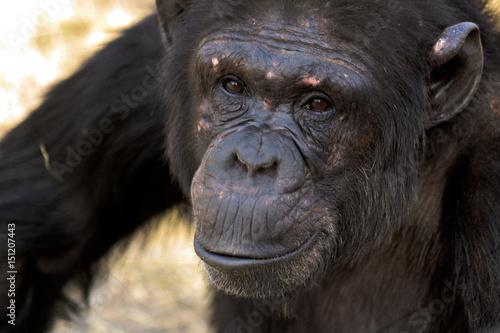 Fotografie, Obraz  Portrait of a female chimpanzee
