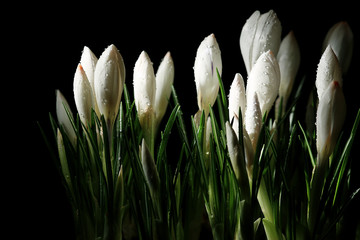 Obraz na Szklewhite crocus on a black background