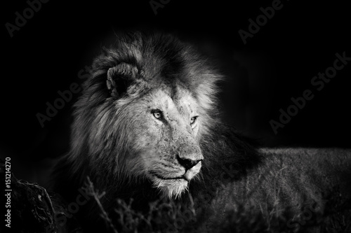 Fototapety, obrazy: Black and white portrait of one of the four Musketeer Lions in Masai Mara, Kenya