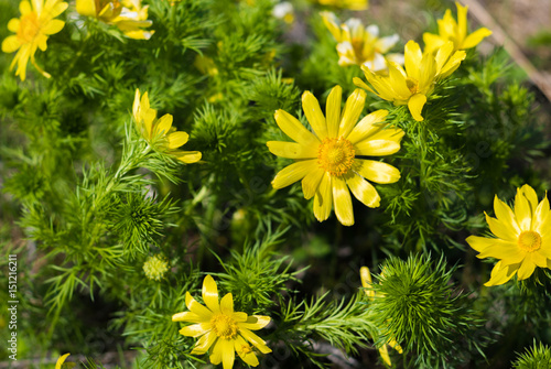 Spring beautiful bright yellow flowers of the forest bush spring beautiful bright yellow flowers of the forest bush flowers of adonis mightylinksfo