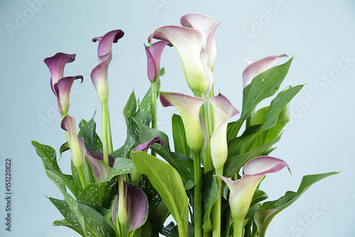 View of a bunch of beautiful fresh pink calla or arum lilies ... Zantedeschia Houseplant on