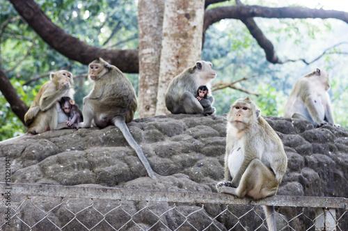 Foto  Cynomolgus-Affefamilie (Macaca-fascicularis / Krebs-essender Makaken) in verunre