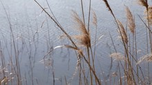 Dry Reed By The Pond