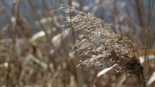 Dry Reed Swinging