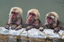 Japanese Macaques Sitting In H...