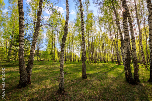 Birch forest with young leaves in spring. Canvas Print