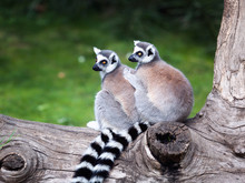 The Ring-tailed Lemur. Two Rin...