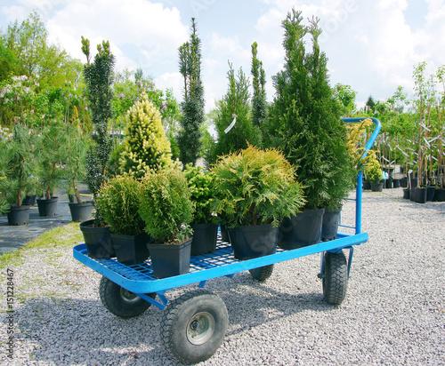 Fototapeta Buying plants in a garden center obraz