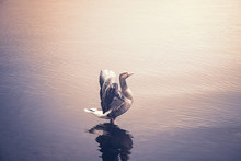 Goose Standing In Shallow Wate...