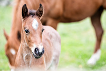 Brown Baby Horse Outdoors, Clo...