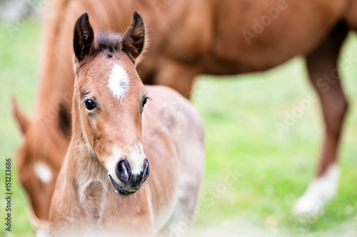Spoed Foto op Canvas Paarden Brown baby horse outdoors, close-up