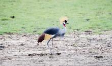 Gray-crowned Crane (Balearica Regulorum) In A Muddy Field In Northern Tanzania