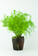 Asparagus  Fern (Foxtail Fern)  In Tea Cup