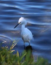 White Egret Heron On The Shore Of A River