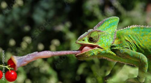 Weibliches Jemenchamäleon - Chamaeleo Calyptratus - fasst Beute mit Zunge