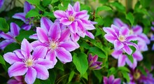 Pink And Purple Single Clematis Flower On The Vine