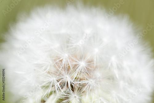 Fotografie, Obraz  Taraxacum officinale commonly known as dandelion.