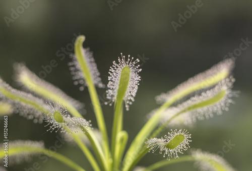 Fotografie, Obraz  carnivorous plant. sundew