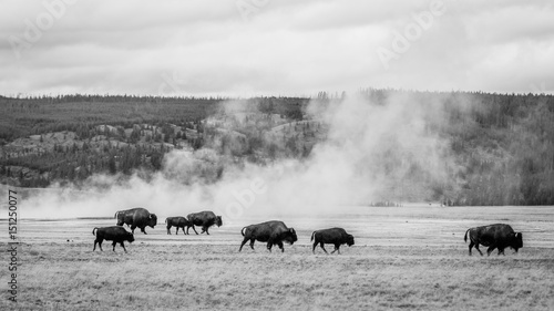 Bison grazing in the field, Yellowstone national park. Black and white photo.