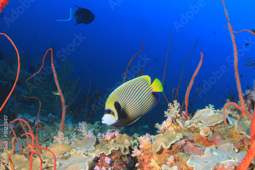 Fototapety, obrazy: Emperor Angelfish fish on coral reef