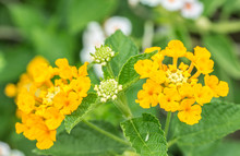 Colorful Flower, Yellow Lantana, Wild Sage, Cloth Of Gold (Lantana Camara L.)