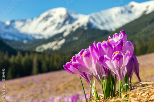 Crocuses, Mountain landscape