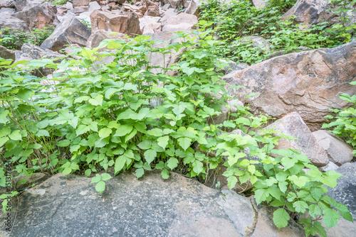 Fotografie, Obraz  poison ivy in sandstone canyon