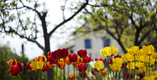 Red And Yellow Tulips In The Flower Bed Against The House, Beautiful Blured Background