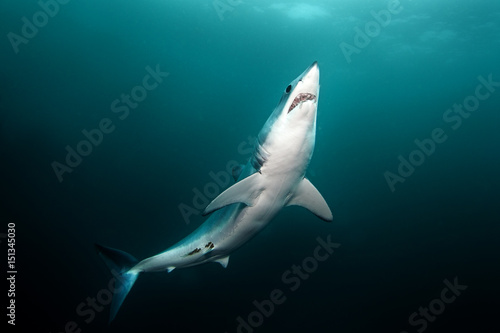 Mako shark, Isurus oxyrinchus, Atlantic ocean, Simon's Town, South Africa Wallpaper Mural
