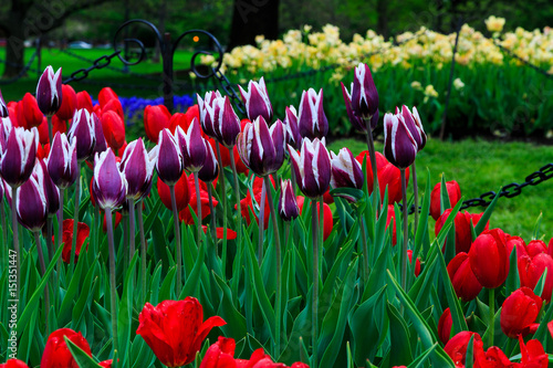 Tulips on display in Washington Park Albany NY on a rainy afternoon in spring Tablou Canvas