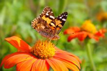 Schmetterling Distelfalter - Vanessa Cardui - Sitzt Auf Blüte Einer Tithonie - Tithonia Rotundifolia