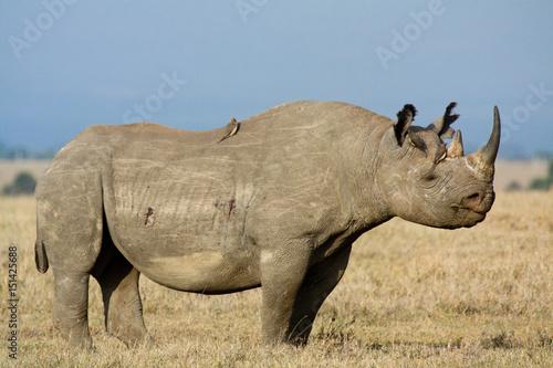 Fotografie, Obraz  Black rhino with oxpeckers