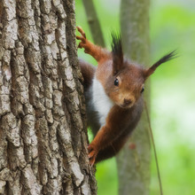 Curious Red Squirrel On A Tree Trunk