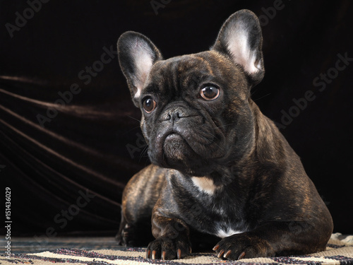 Bouledogue français Portrait of a beautiful dog on a dark background. Bulldog expressive looks. Paws with long claws