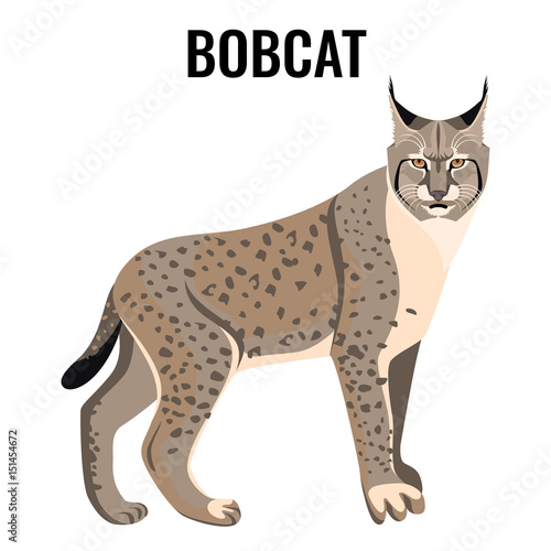 Photo Full length spotted bobcat vector illustration isolated