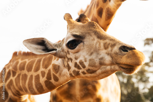 close up of giraffes in africa Poster