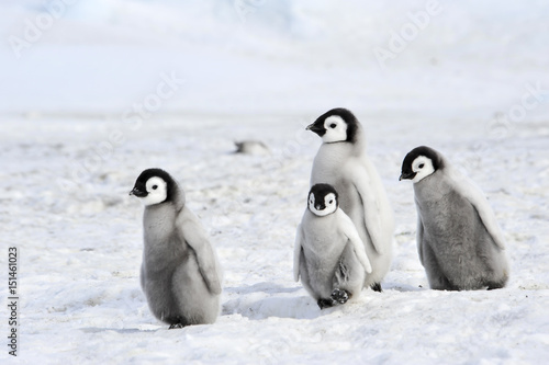 Photo sur Toile Pingouin Emperor Penguin chicks in Antarctica