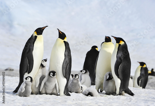 Photo sur Toile Pingouin Emperor Penguins with chick