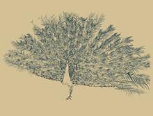 Peacock , Sketch Vector.