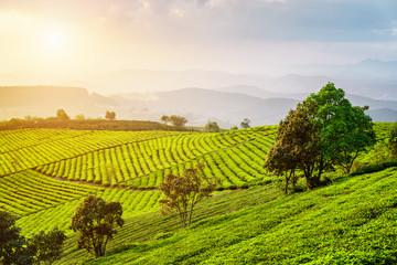 Fototapeta Scenic view of tea plantation. Amazing summer rural landscape