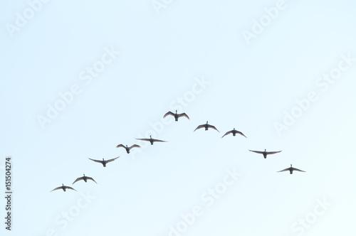 Photo  白鳥