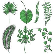 Palm Leaves Set. Vector Collection With Tropical Leaves. Livistona Rotundifolia, Caladium, Asplenium, Coconut, Trevesia, Epipremnum Leaves Illustration. Colorful Palm Leaves.