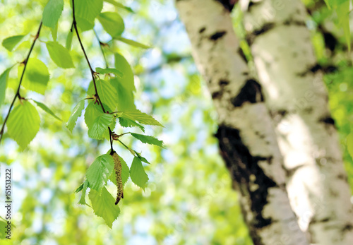 Fresh green spring background with birch tree catkins and young juicy green leaves on the branches in sunny spring summer day, close-up macro on the background of birch trunk.