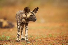 Portrait Of African Wild Dog Lycaon Pictus Puppy Staring Almost Directly At Camera In Close Up Distance. Low Angle Photography. Typical African Reddish Soil. Blurred Background. Soft Light. Zimanga.