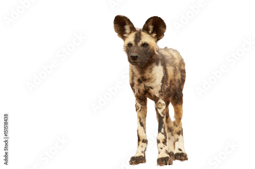 Isolated on white background, African Wild Dog, Lycaon pictus, close up puppy, front view. Zimanga, South Africa.